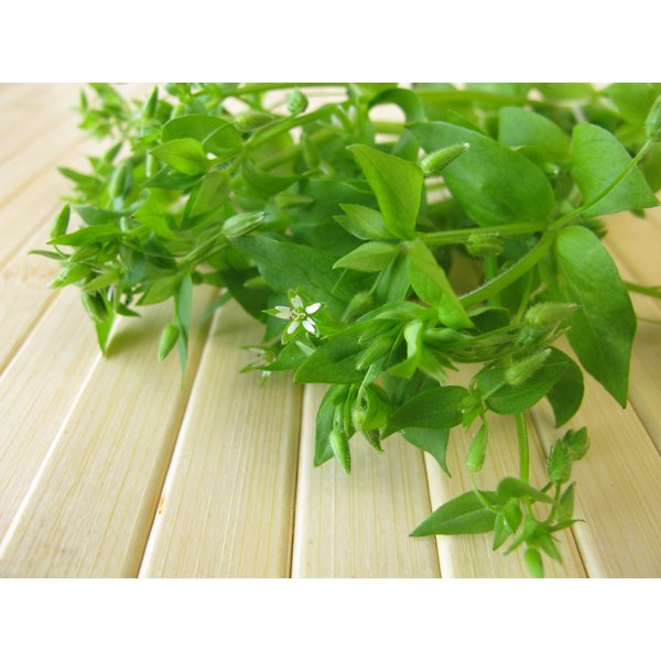 fresh chickweed