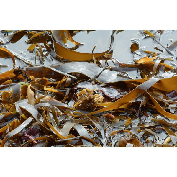 Brown seaweed in the water.
