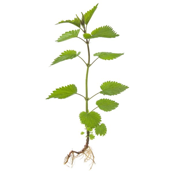 Nettle root is derived from the stinging nettle plant.
