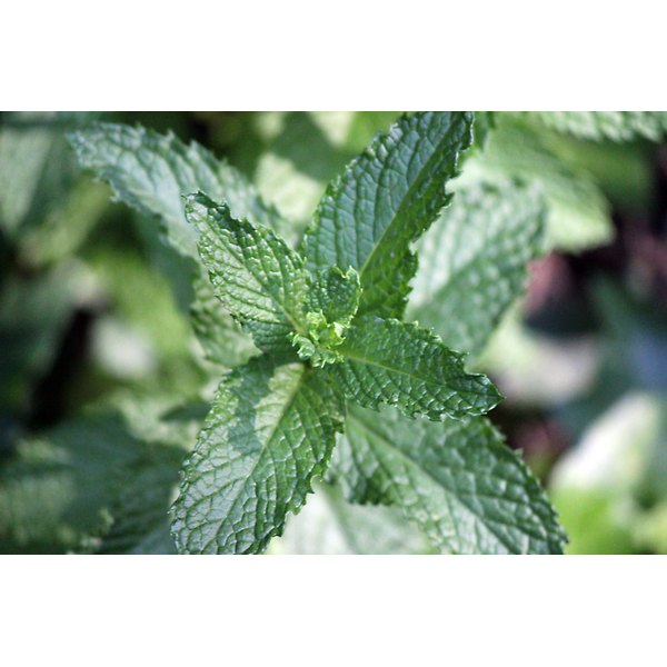Peppermint leaves.