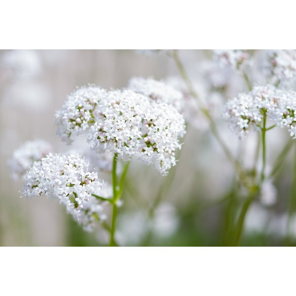 Use of valerian dates back to ancient Greece and Rome.