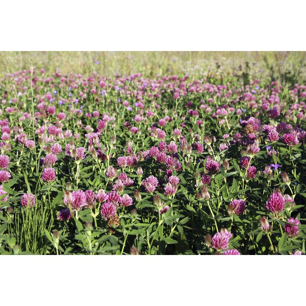Red clover plants in a field.