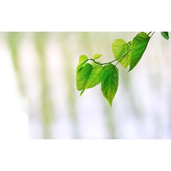 Mulberry Leaves Images