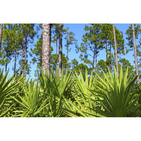 Saw palmetto plants growing in the wild.