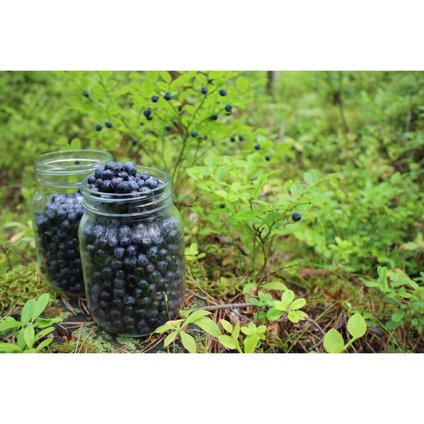 Jars of hand-picked blueberries in the woods.