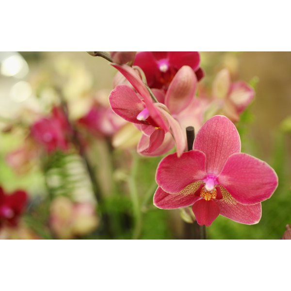 Orchids add tropical extravagance to a cascading bouquet.