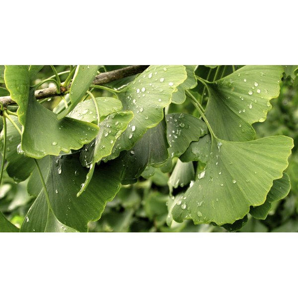 A close-up of gingko biloba leaves.