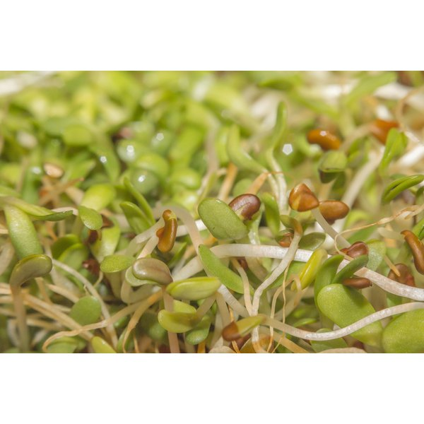 Alfalfa seeds are easy to grow into nutritious sprouts.