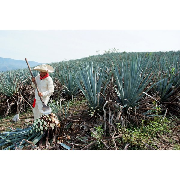 A jimador collects agave plants in Mexico.