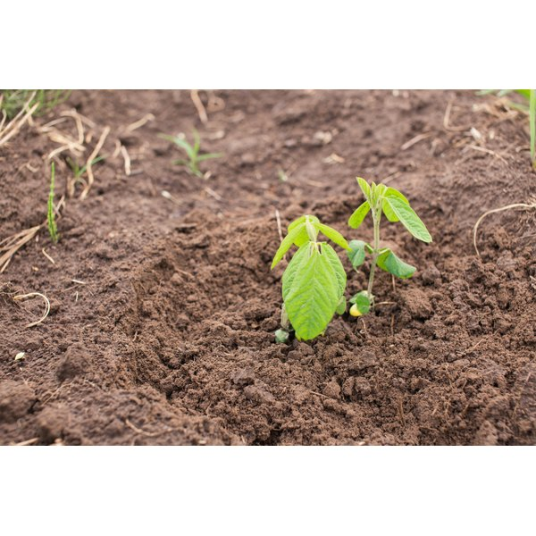 A young soybean plant sprouting.