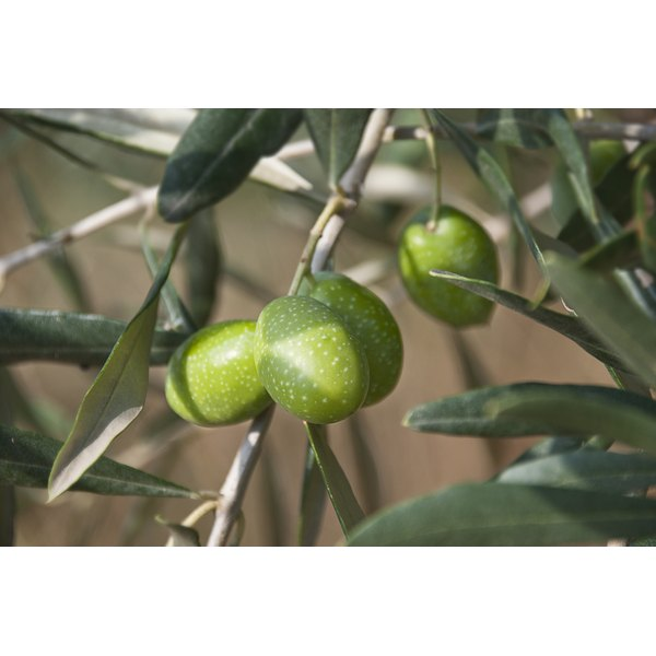 Green olives growing on a tree.