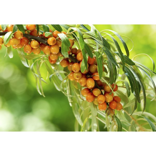 Buckthorn berries on a branch