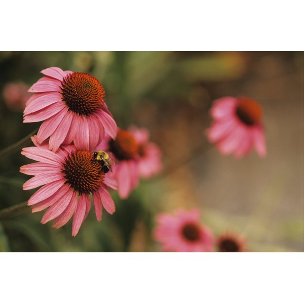 Echinacea has only a minor effect on your lymphocyte count.
