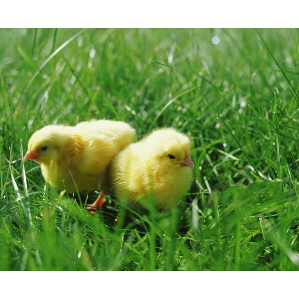 Sodium bicarbonate helps chickens live in cleaner environment.