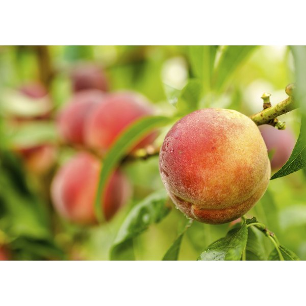 Peaches growing on a tree.