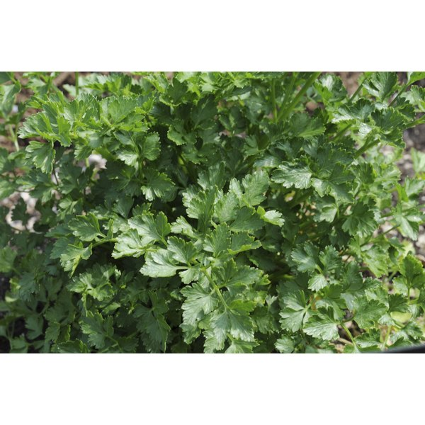 Parsley provides cancer-fighting phytonutrients.