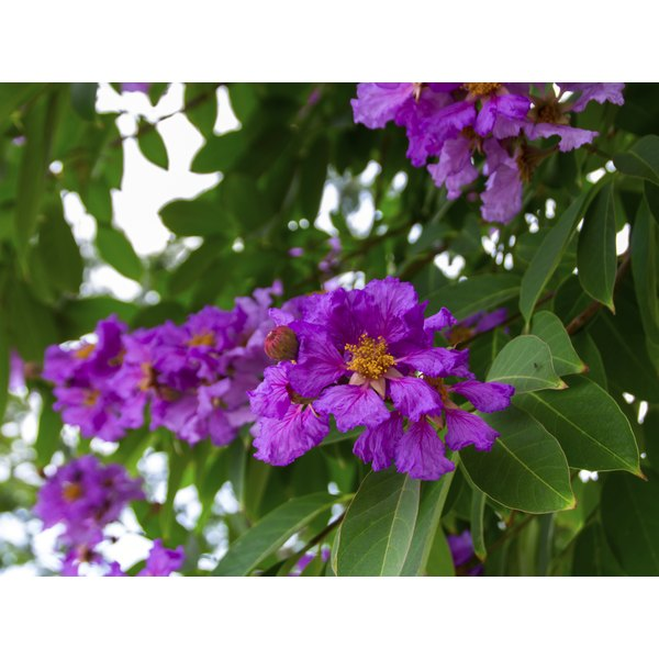 A flowering banaba plant (Lagerstroemia speciosa).