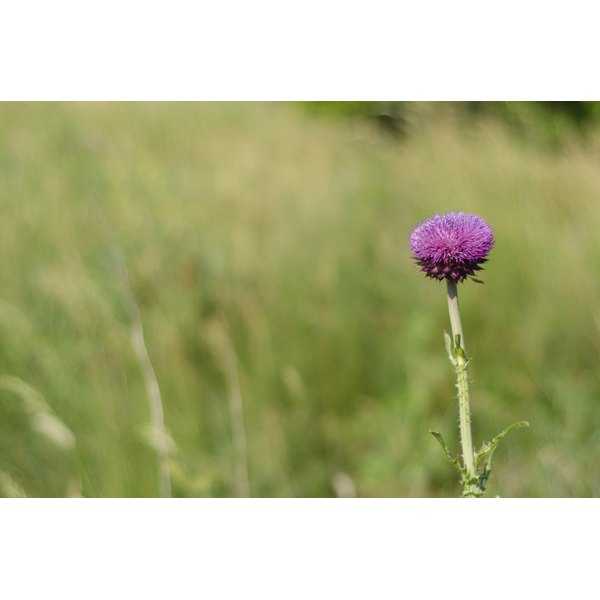 Purple milk thistle growing in a field.