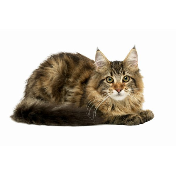 Anemia In Cats How To Treat
