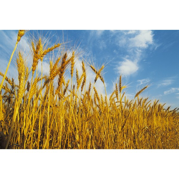 Sprouted wheat is a healthy option for people with diabetes.