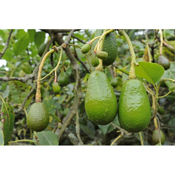 A close-up of avocados growing on a tree.
