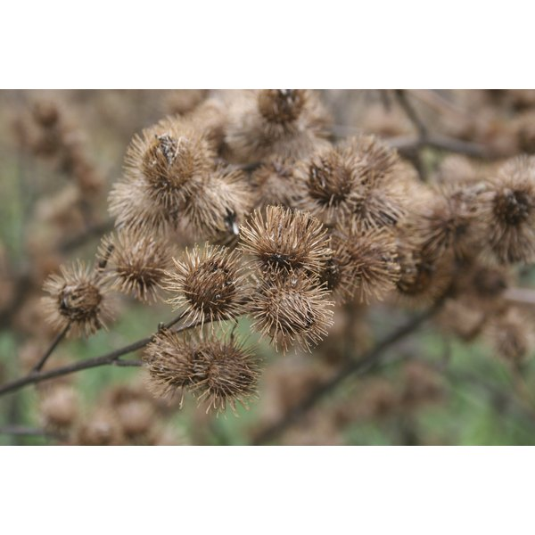 Hikers are unwitting hosts for burdock burrs.