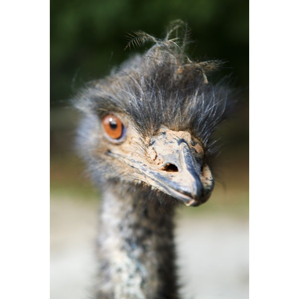Ostriches lend their valuable hides to everything from purses to smartphone cases.
