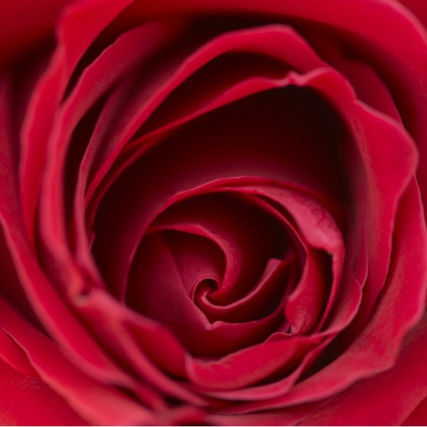 """Red roses are significant in """"Beauty and the Beast."""""""