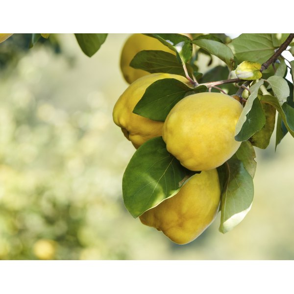 The size, shape and color of quince fruits depends upon the quince tree variety.