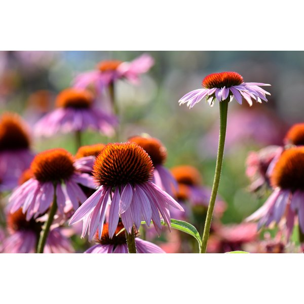 Echinacea plants growing in a garden.