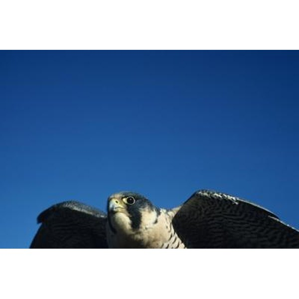 Native American Spiritual Meaning Of A Peregrine Falcon Synonym