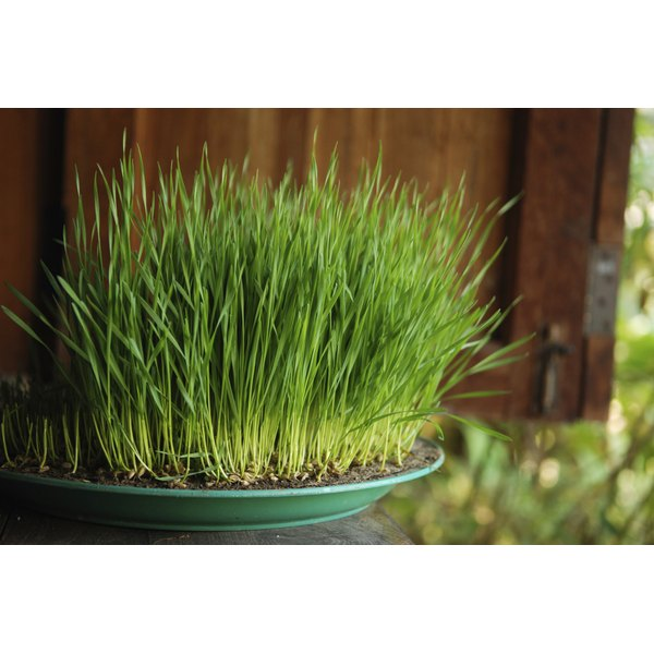 Wheatgrass is growing on a plate on a wooden sill outside.