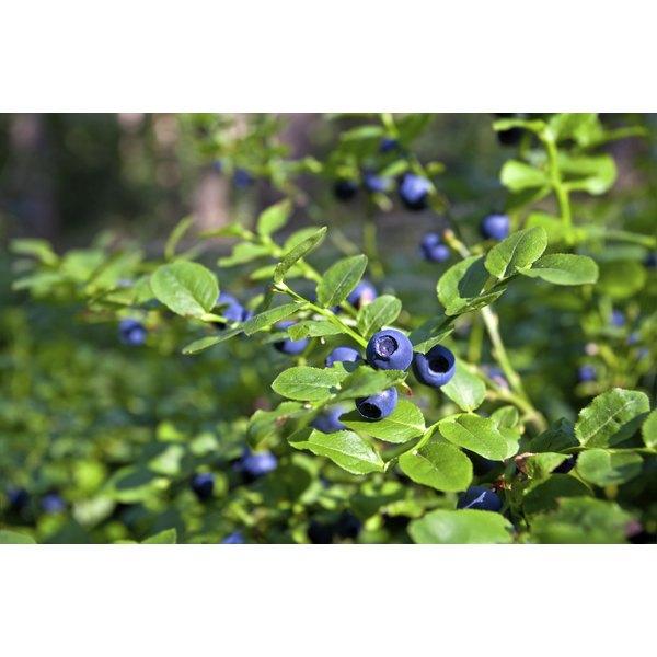 Blueberries grow in abundance in most Washington parks.