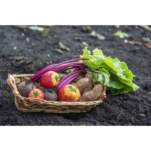 A basket of harvested beets and tomatoes on garden soil.