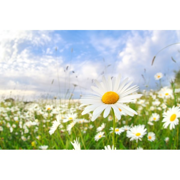 A compress made from chamomile flowers may soothe dry eyes.
