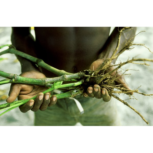 A man holds freshly cut kava root in his hands.