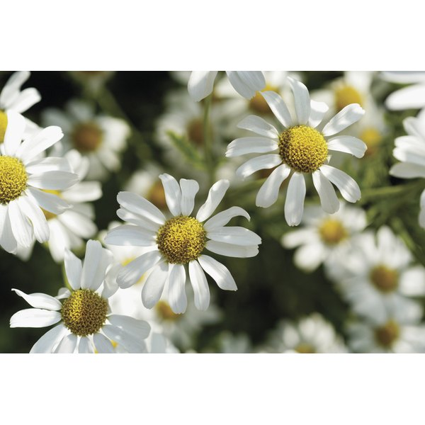 Chamomile essential oil is often used for relaxation.