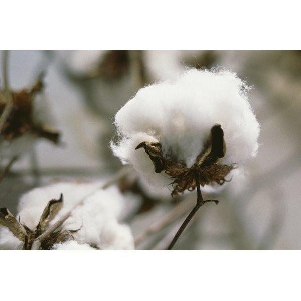 Cotton plants are harvested, and the cotton is manufactured into cotton fabrics.