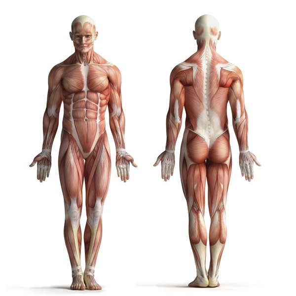 A medical rendering of the front and back view of a male muscular structure.