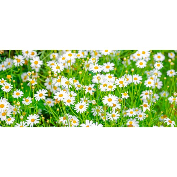 A chamomile flower infusion may help prevent hair loss.