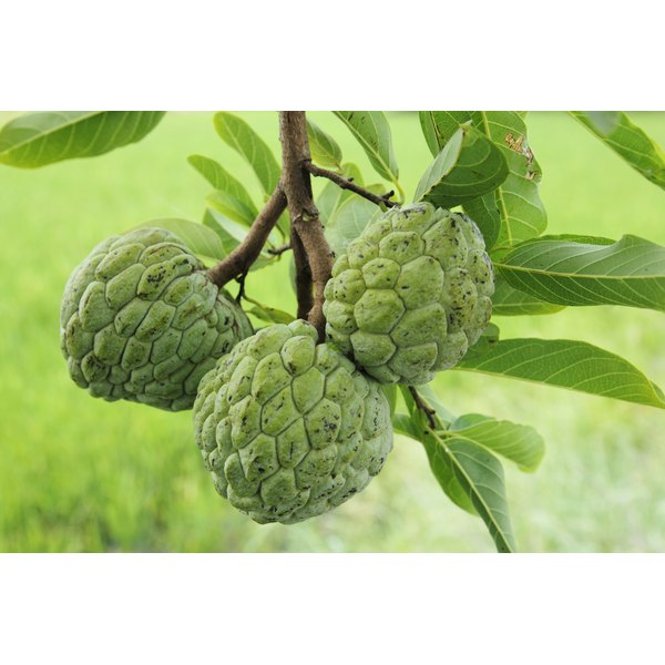 Because of its creamy interior, the fruit is also known as a custard apple.
