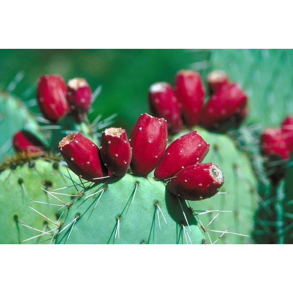 Cactus are used for food and medicine throughout North America, Mexico, South America and the Tropics.