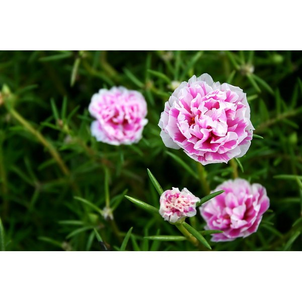 Carnation flowers growing in a garden.