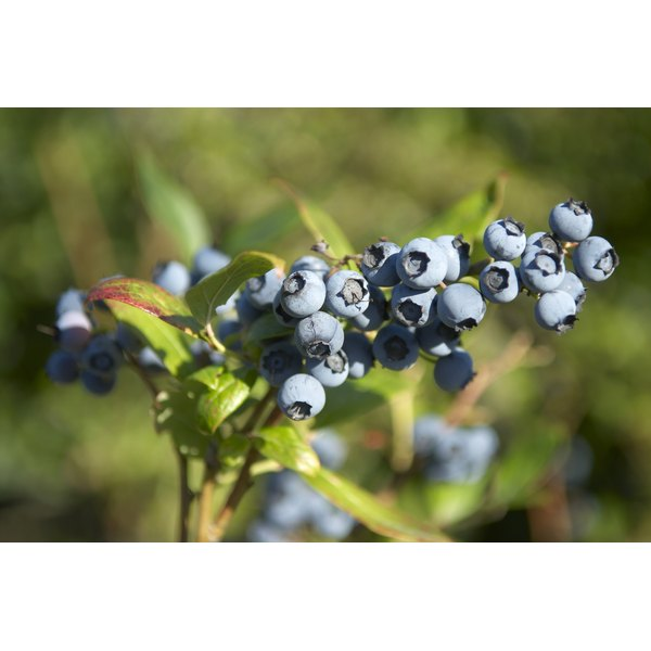 Bilberries on a bush.