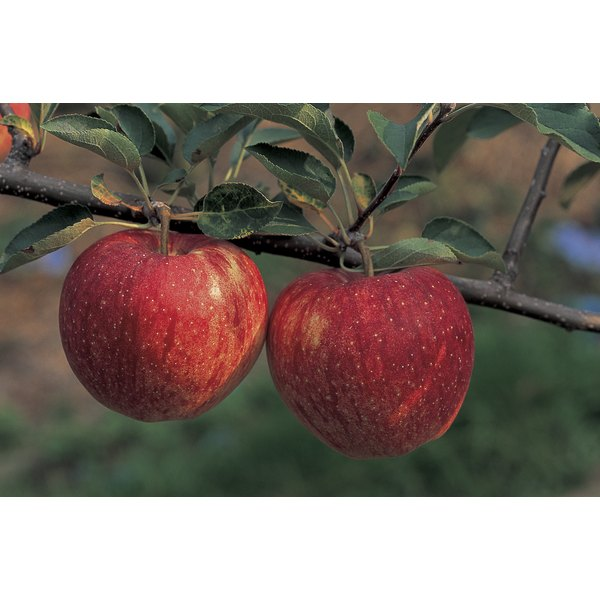 Two apples hanging on a tree branch.