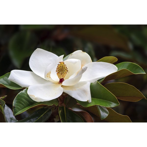 A southern magnolia flower growing in the wild.