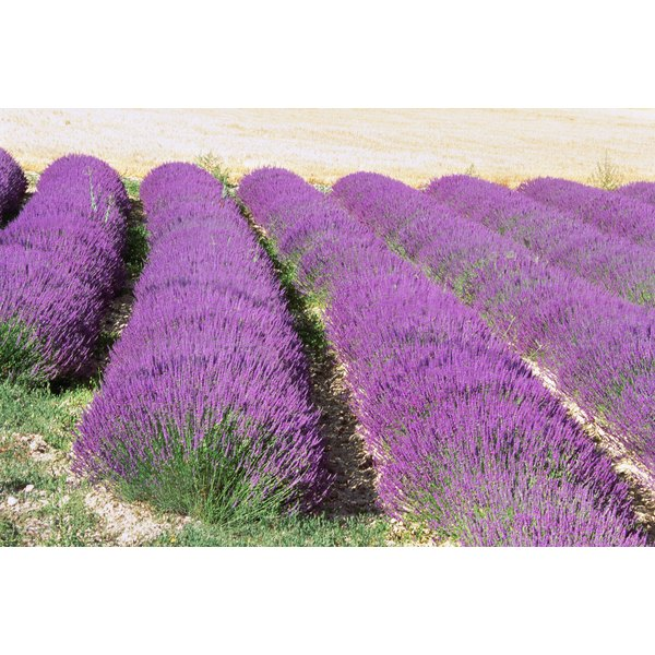 Lavender fields in France.