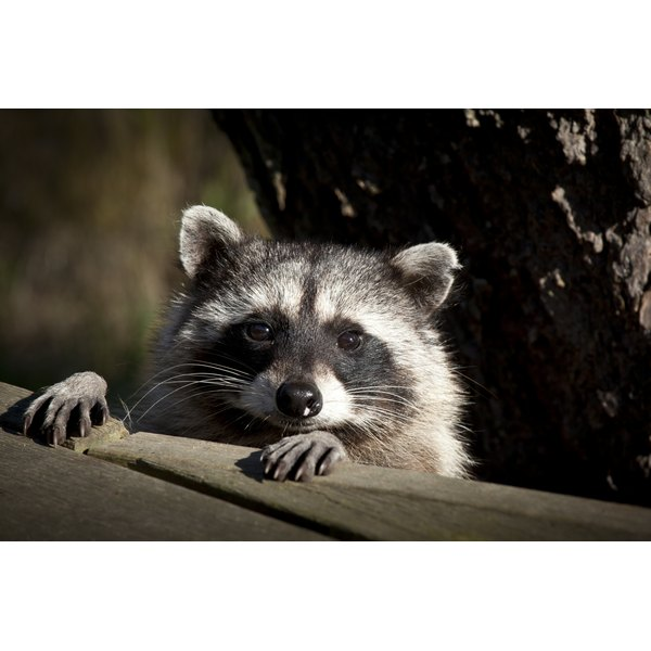 Raccoons can transfer a handful of diseases to humans.