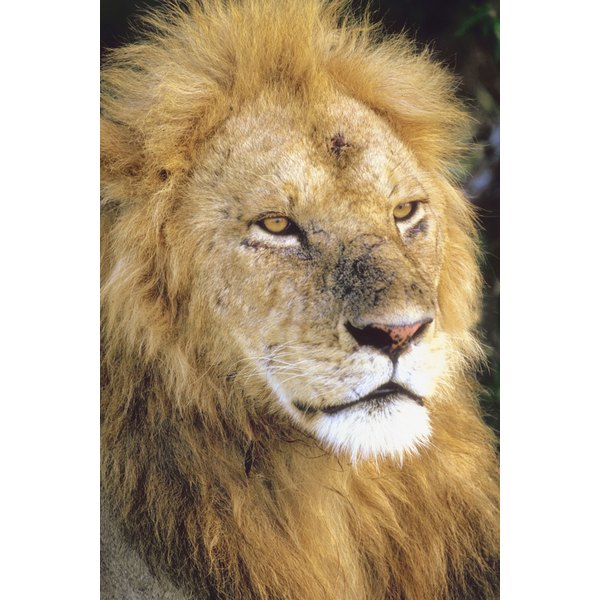 Use lots of paper strips or wool for the lion's thick mane.