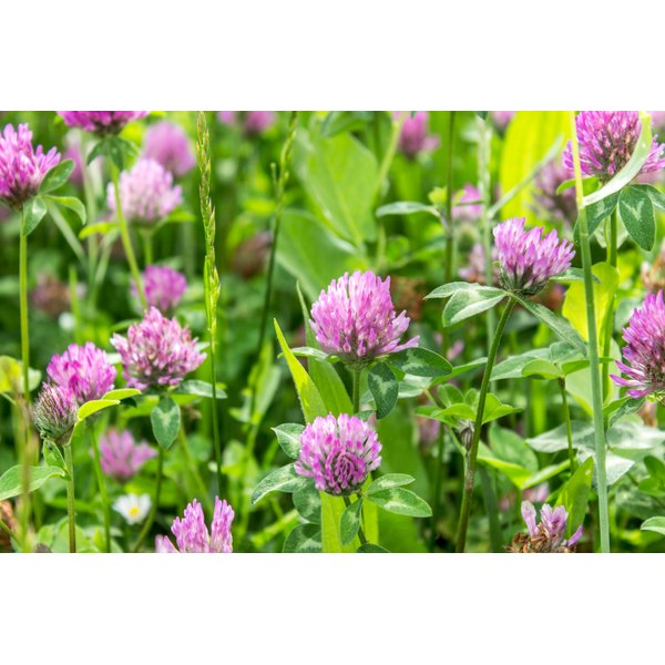 Precautions Of Red Clover During Pregnancy Healthfully